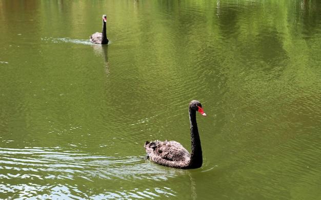 Cisne negro nadando em um lago