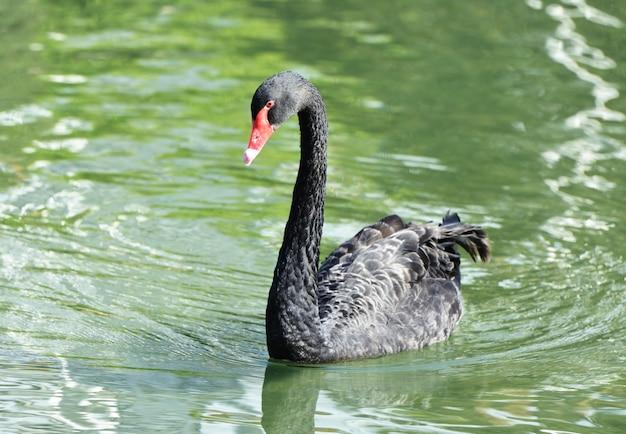 Cisne negro no lago