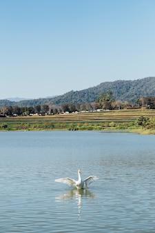 Cisne no lago