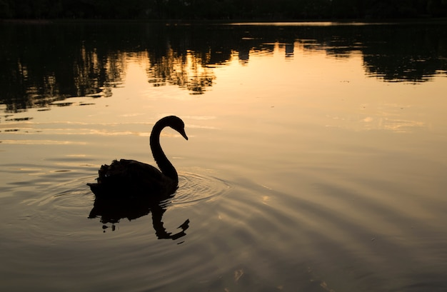 Cisne no parque do ibirapuera, brasil