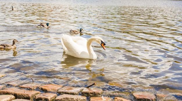 Cisne no rio vltava em praga, capital da república checa, perto da ponte de charles.