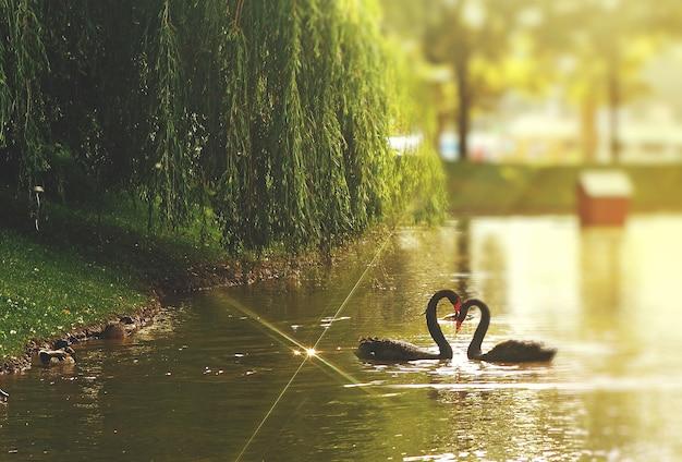 Cisne, pretas, dois, perto, coração, pescoço, lago