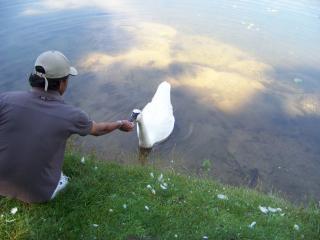 Cisne querido, você hungy?