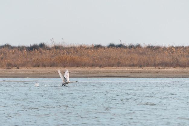 Cisne selvagem decolando sobre o lago