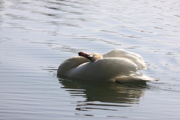 Cisne selvagem mudo em seu lago em frança.