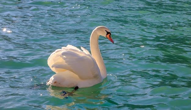 Cisne solitário na água do lago azul em dia de sol