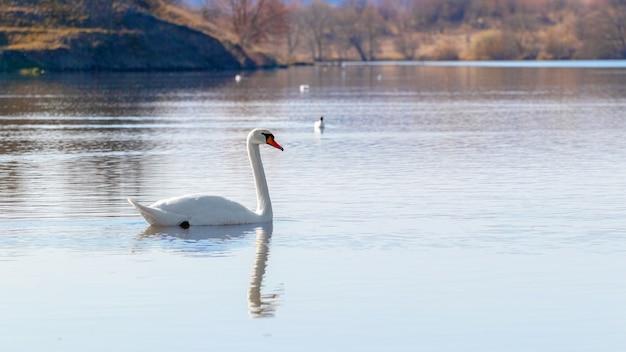 Cisne solitário no rio pela manhã_