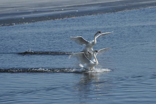 Cisne voando no lago azul da primavera