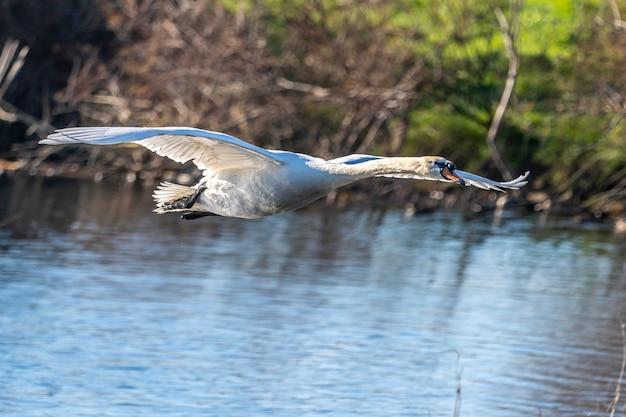 Cisne voando nos pântanos do ampurdan.