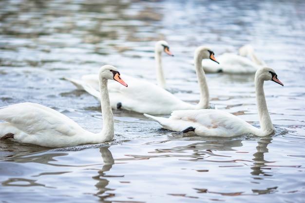 Cisnes bonitas no rio vltava de praga e charles bridge no fundo. karluv most e cisnes brancos