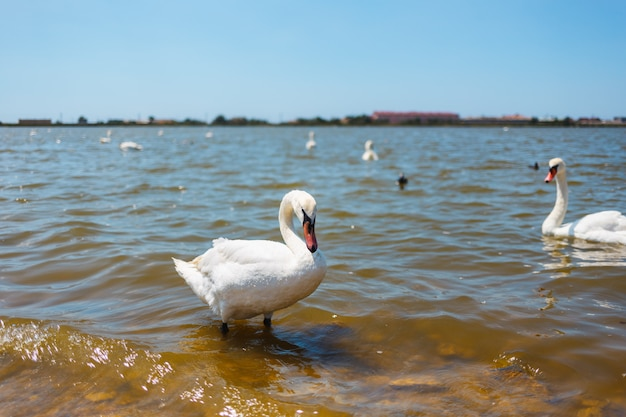 Cisnes brancos com patinhos em um lago no contexto da cidade