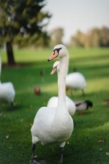 Cisnes brancos descansando na grama verde do parque.