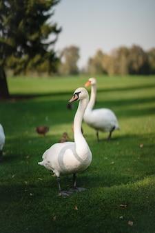 Cisnes brancos descansando na grama verde do parque