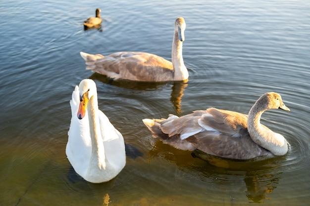Cisnes brancos e cinzentos nadando na água do lago no verão.