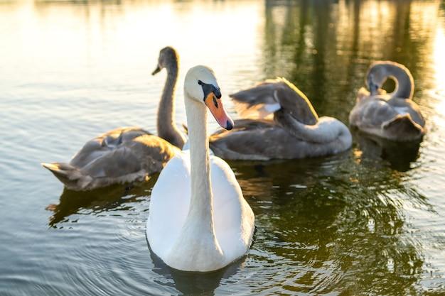 Cisnes brancos e cinzentos nadando nas águas do lago no verão.