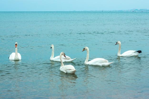 Cisnes brancos graciosos nadando no mar