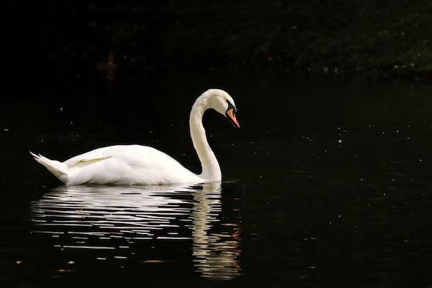 Cisnes brancos nadando na lagoa do parque