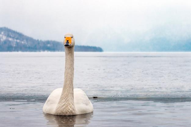 Cisnes brancos nadando no lago de inverno nonfreezing em hokkaido japão