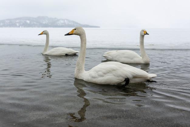 Cisnes brancos nadando no lago de inverno nonfreezing no japão