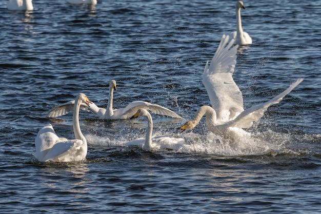 Cisnes-bravos, cygnus cygnus, lutando nas águas de hananger em lista, noruega