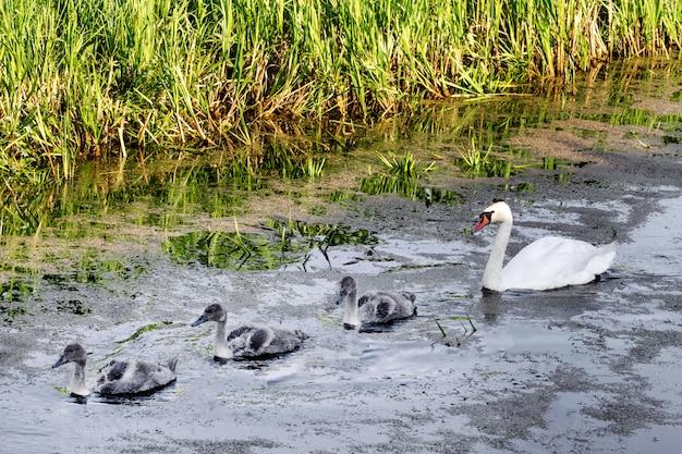 Cisnes com filhotes.