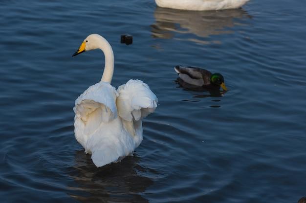 Cisnes e patos nadando no lago