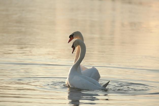 Cisnes em um lago na floresta
