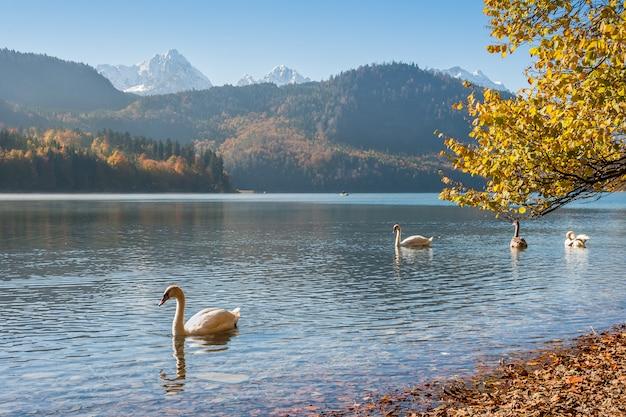 Cisnes flutuando no lago com uma linda paisagem de outono com montanhas e folhagens