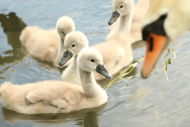 Cisnes jovens descansando na beira do lago da floresta