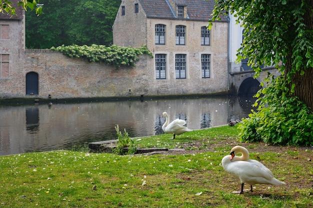 Cisnes na margem de um canal perto da beguinaria de begijnhof na cidade de bruges, na bélgica