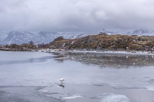 Cisnes na paisagem de inverno congelado em lofoten, noruega