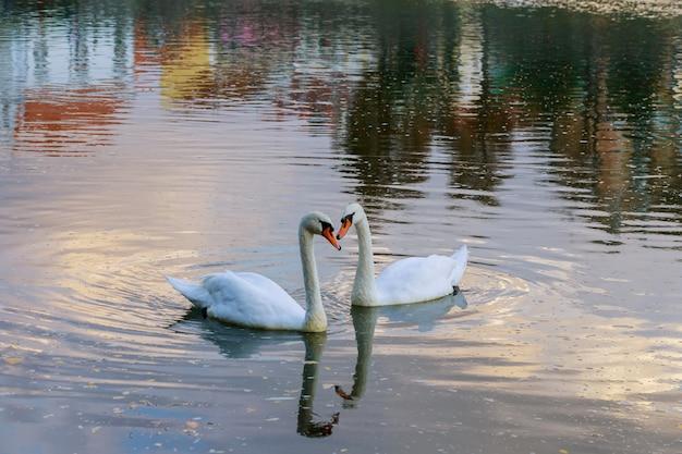 Cisnes nadando em um rio