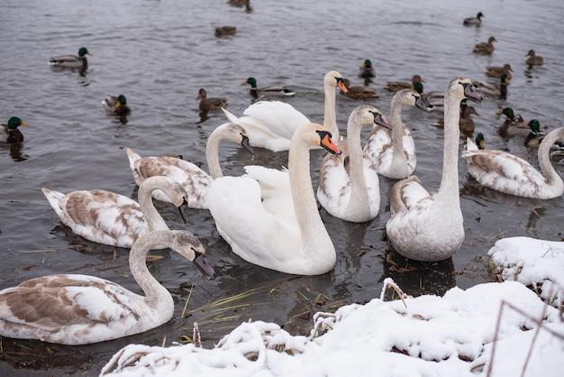 Cisnes no lago, com filhotes, no inverno. para qualquer propósito.