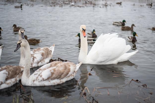 Cisnes no lago, com filhotes, no inverno