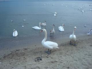Cisnes nos cisnes custo do mar negro