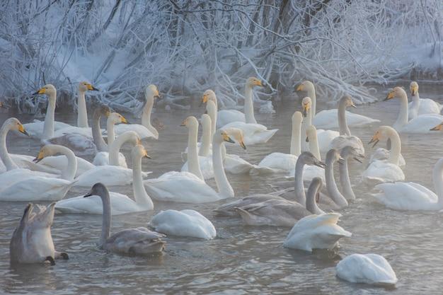 Cisnes perto do lago