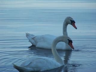 Cisnes procurar comida, branco