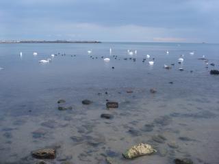 Cisnes que nadam no mar