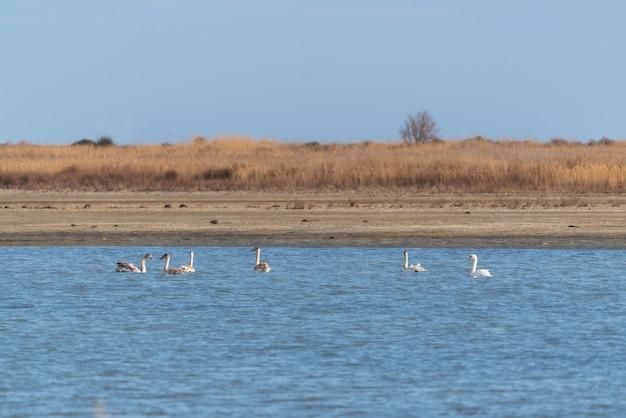 Cisnes selvagens no lago