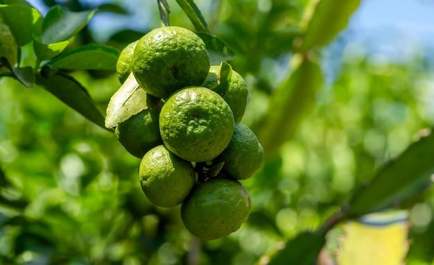 Citrus hystrix, chamado de lima kaffir, é uma fruta cítrica nativa do sudeste da ásia tropical e do sul da china. foco selecionado
