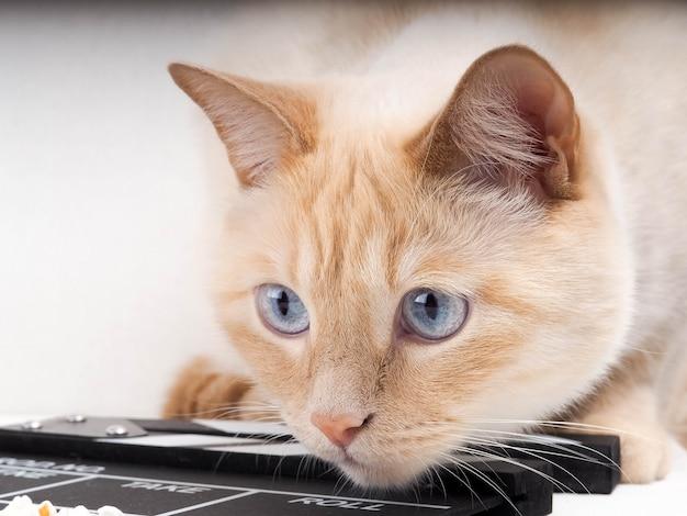 Claquete de gato e foco seletivo, gato branco