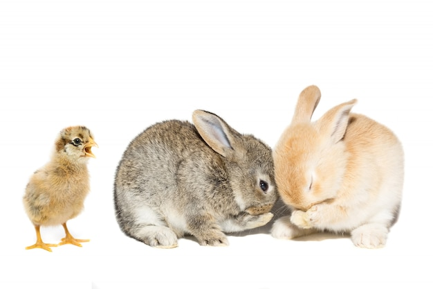 Clara de ovo de galinha de coelho