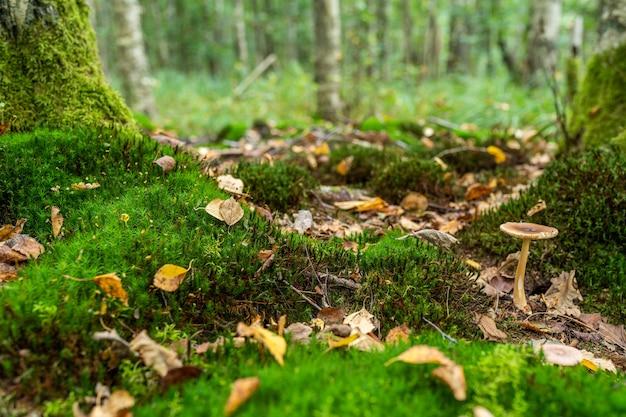 Clareira linda floresta verde coberta de musgo com cogumelos e folhas amarelas. espaço para mensagem.