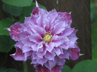 Clematis close-up, jardim