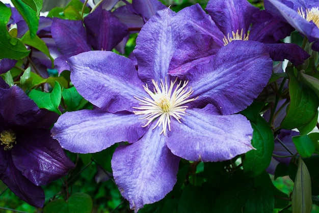 Clematis de flores grandes. clematis x jackmanii no parque