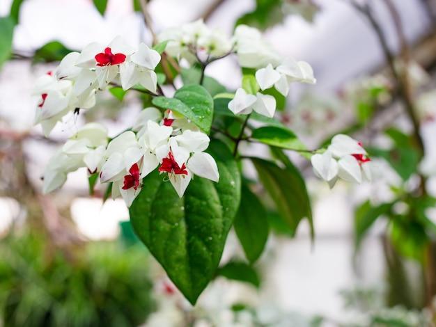 Clerodendrum thomsoniae em flor, planta tropical