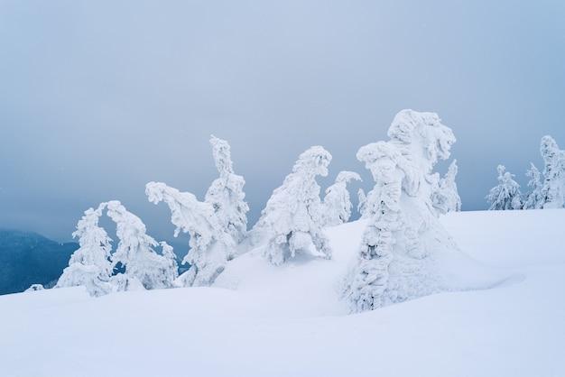 Clima de inverno desagradável com pinheiros cobertos de geada em uma colina. a neve cai nas montanhas
