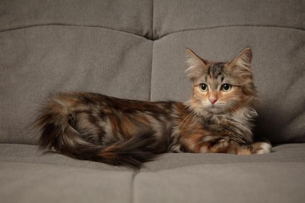 Clima de inverno. lindo gatinho de gato siberiano sentado no sofá coberto com um cobertor marrom.