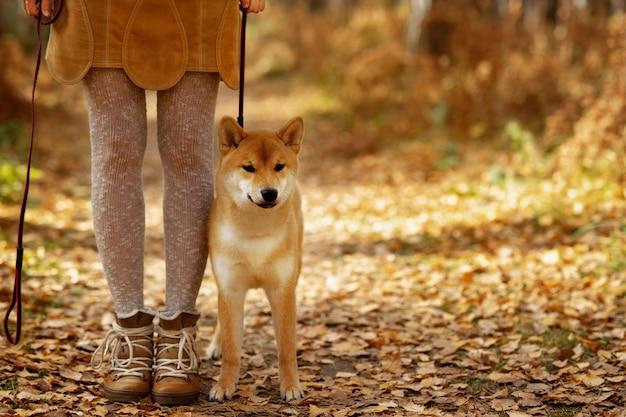 Clima de outono. puppi bonito cão shiba inu na paisagem colorida do outono.