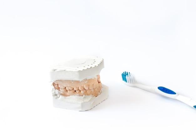 Clínica odontológica profissional. modelo anatômico de gesso